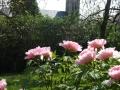fleurs_pivoines_avec_clocher