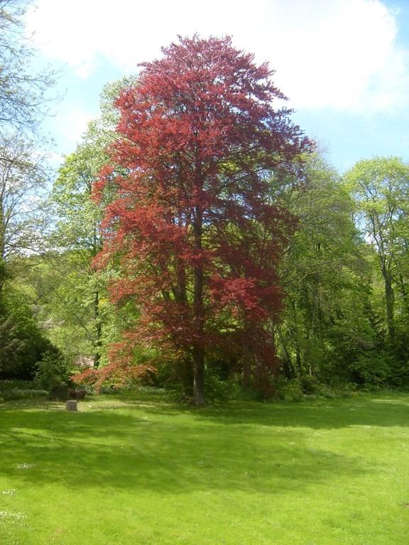 arbre_hetre_pourpre_dans_le_parc
